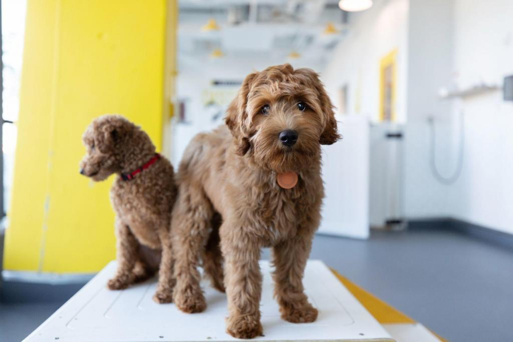 Two goldendoodles