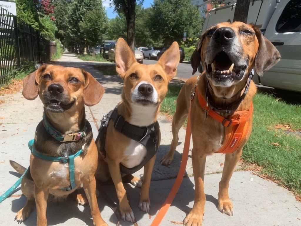 Small group dog walkig